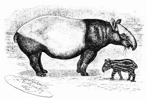 tapir-engraving